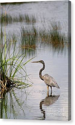 Canvas Print featuring the photograph Great Blue by Dodie Ulery