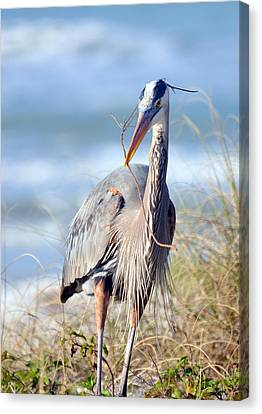 Great Blue Heron - Nesting Canvas Print
