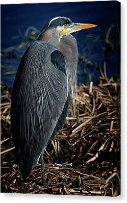 Canvas Print featuring the photograph Great Blue Heron 2 by Randy Hall