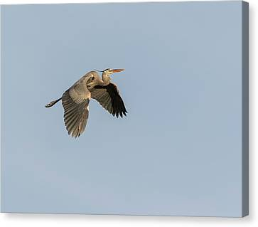 Canvas Print featuring the photograph Great Blue Heron 2015-15 by Thomas Young