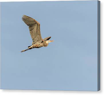 Canvas Print featuring the photograph Great Blue Heron 2015-17 by Thomas Young