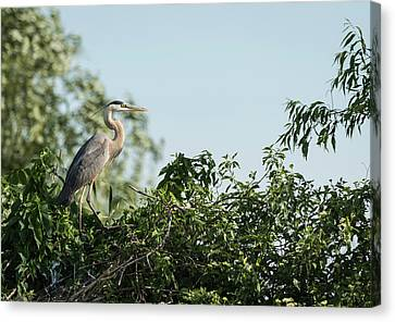 Canvas Print featuring the photograph Great Blue Heron  2015-18 by Thomas Young