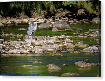 Great Blue Heron 2016 Canvas Print by Bill Wakeley