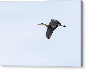 Canvas Print featuring the photograph Great Blue Heron 2017-1 by Thomas Young