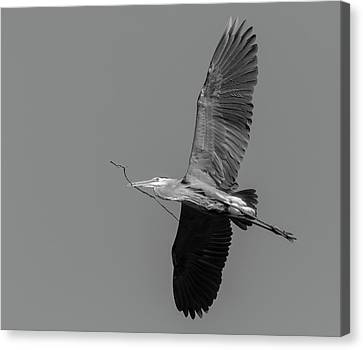 Canvas Print featuring the photograph Great Blue Heron 2017-2 by Thomas Young