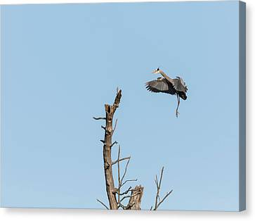 Great Blue Heron 2017-3 Canvas Print by Thomas Young