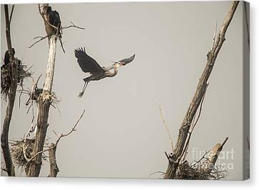 Canvas Print featuring the photograph Great Blue Heron - 6 by David Bearden