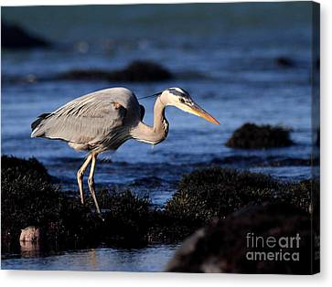 Bif Canvas Print - Great Blue Heron . 7d4745 by Wingsdomain Art and Photography