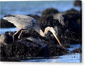 Bif Canvas Print - Great Blue Heron . 7d4755 by Wingsdomain Art and Photography