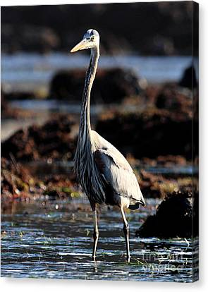 Bif Canvas Print - Great Blue Heron . 7d4798 by Wingsdomain Art and Photography