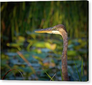 Beauty Mark Canvas Print - Great Blue Heron At Sunset by Mark Andrew Thomas