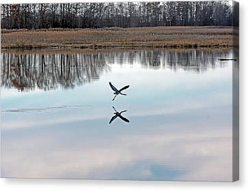 Great Blue Heron At Take-off Canvas Print