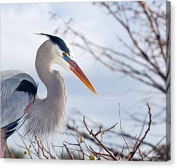 Great Blue Heron At Wakodahatchee Wetlands Canvas Print by Michelle Wiarda