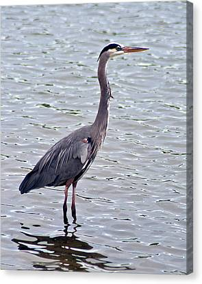 Canvas Print featuring the photograph Great Blue Heron by Bill Barber
