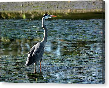 Canvas Print featuring the photograph Great Blue Heron Catching The Light by Susan Wiedmann