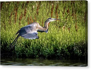 Great Blue Heron Canvas Print by Cathy Cooley