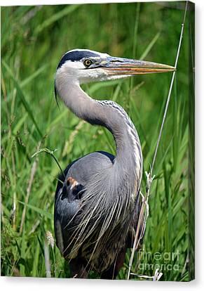 Great Blue Heron Close-up Canvas Print