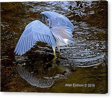 Great Blue Heron Flexing Canvas Print by Allan Einhorn