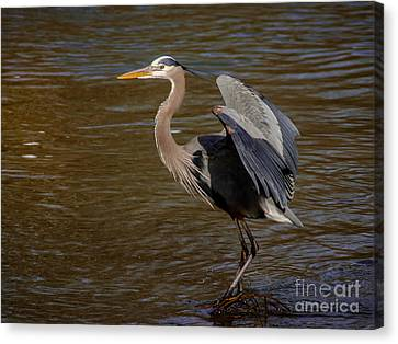 Great Blue Heron - Flooded Creek Canvas Print by Robert Frederick