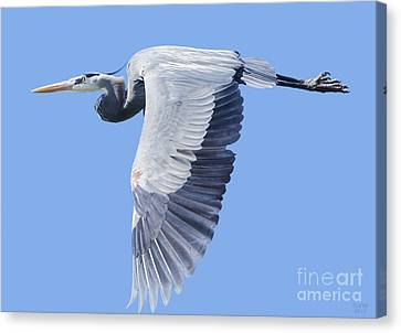Great Blue Heron Flying Canvas Print