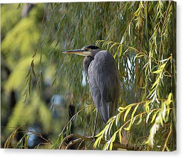 Great Blue Heron In A Willow Tree Canvas Print by Keith Boone