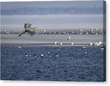 Great Blue Heron In Flight 2014-2 Canvas Print by Thomas Young