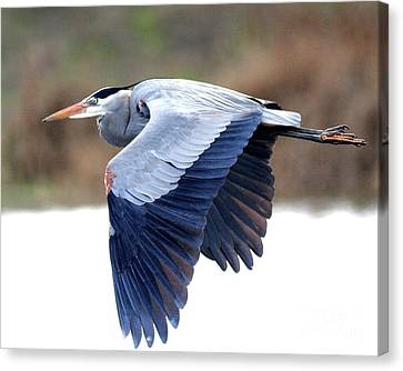 Great Blue Heron In Flight . 40d12055 Canvas Print by Wingsdomain Art and Photography