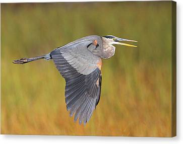 Great Blue Heron In Flight Canvas Print by Bruce J Robinson