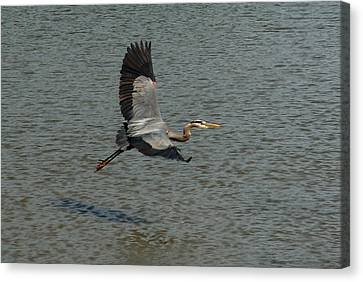 Canvas Print featuring the photograph Great Blue Heron In Flight by Kathleen Stephens