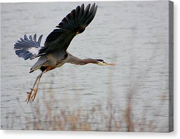 Great Blue Heron In Flight Canvas Print by Nick Gustafson