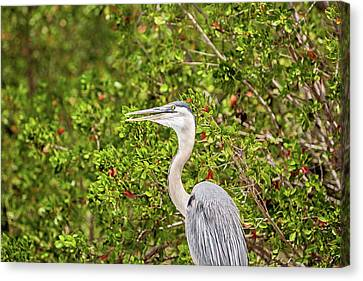 Great Blue Heron In The Mangroves Canvas Print by Scott Pellegrin