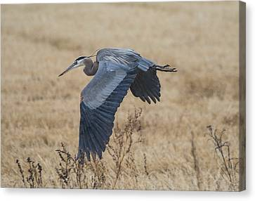 Great Blue Heron In The Rain Canvas Print by Loree Johnson