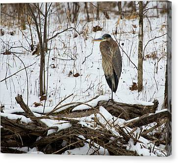 Great Blue Heron In The Snow Canvas Print