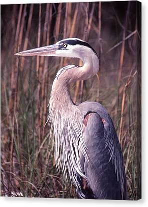 Great Blue Heron Canvas Print by Jack Cushman