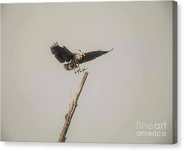 Canvas Print featuring the photograph Great Blue Heron Landing by David Bearden