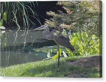 Great Blue Heron Canvas Print by Linda Geiger