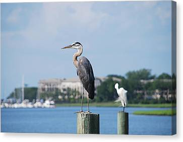 Canvas Print featuring the photograph Great Blue Heron by Margaret Palmer