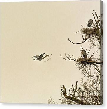 Great Blue Heron Nest Building Canvas Print