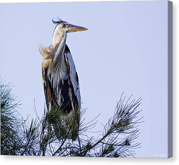 Great Blue Heron On A Windy Day Canvas Print by Roger Wedegis