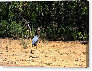 Canvas Print featuring the photograph Great Blue Heron On Beach by Sheila Brown