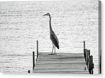 Great Blue Heron On Dock - Keuka Lake - Bw Canvas Print