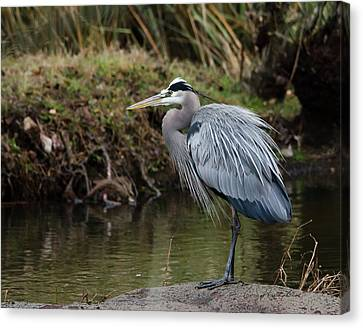 Canvas Print featuring the photograph Great Blue Heron On The Watch by George Randy Bass