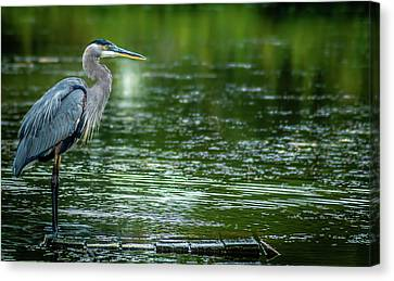 Great Blue Heron Canvas Print by Optical Playground By MP Ray