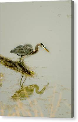 Great Blue Heron Canvas Print by Pamela Patch