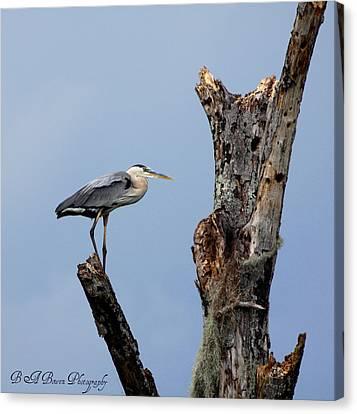 Great Blue Heron Perched Canvas Print by Barbara Bowen