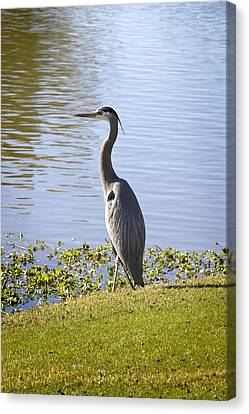 Canvas Print featuring the photograph Great Blue Heron by Phyllis Denton
