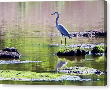 Great Blue Heron - Pond Fishing Canvas Print by Brian Wallace