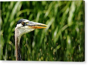 Canvas Print featuring the photograph Great Blue Heron Portrait by Debbie Oppermann