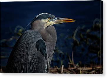 Canvas Print featuring the photograph Great Blue Heron by Randy Hall