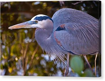 Great Blue Heron Canvas Print by Rich Leighton